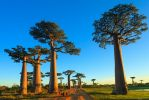 the-avenue-or-alley-of-the-baobabs-in-morondova-credit-gil_-k