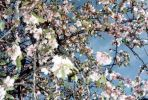 wild-almond-blossom_canarie